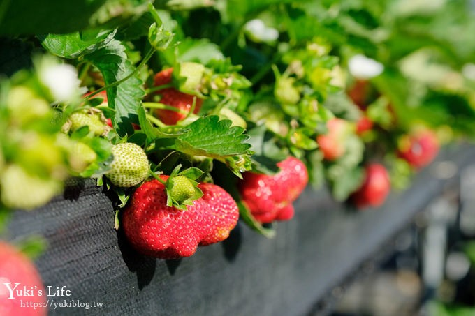 苗栗大湖采草莓一日游【六合高架牛奶草莓农场】超大草莓又红又香!不怕鞋子脏掉哟~ - yukiblog.tw