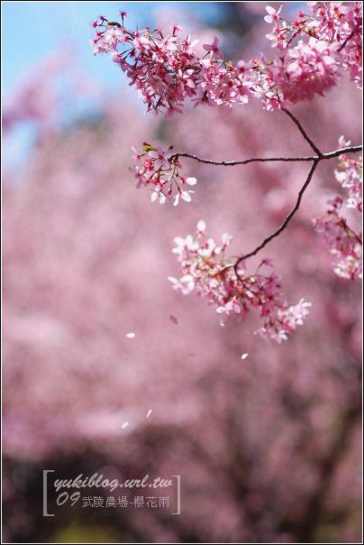 [09賞櫻]*武陵農場 I ~粉色櫻花雨•賞鳥行(新增影片檔)
