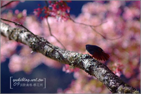[09賞櫻]*武陵農場 I ~粉色櫻花雨•賞鳥行(新增影片檔) - yukiblog.tw