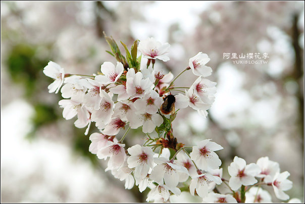 [賞櫻]舊*阿里山櫻花季~滿天白雪 - yukiblog.tw
