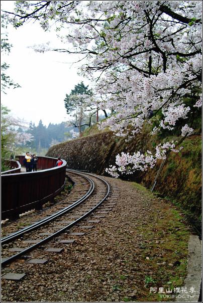 [賞櫻]舊*阿里山櫻花季~滿天白雪