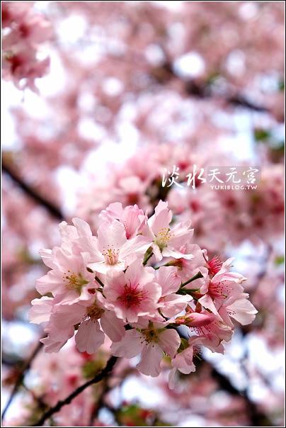 [台北-遊]*淡水天元宮~粉色吉野櫻 & 阿嬤牌草仔粿 - yukiblog.tw