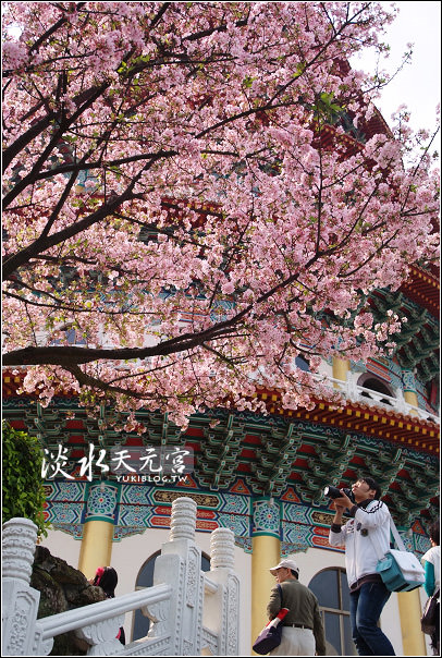 [台北-遊]*淡水天元宮~粉色吉野櫻 & 阿嬤牌草仔粿