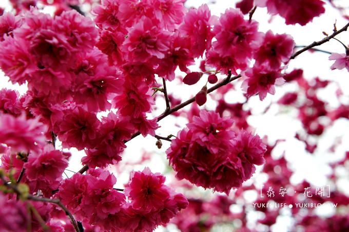台中后里[泰安‧八重櫻]*最美麗的泰安派出所.隱身在一片櫻花海的浪漫派出所 - yukiblog.tw