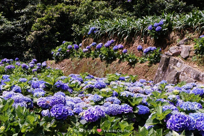 北投陽明山大梯田花卉農園繡球花開