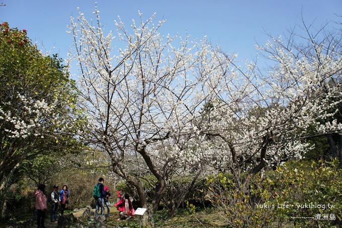 韓國濟洲島旅行【漢拏樹木園】櫻花大道盛開時期是每年的3月下旬~4月中旬