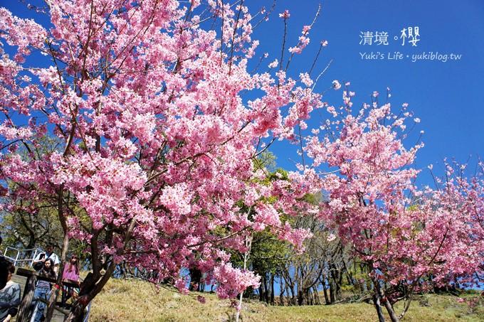 【南投清境農場】櫻花紛飛時(下)‧觀山牧區粉櫻盛開有如小武陵一般 - yukiblog.tw